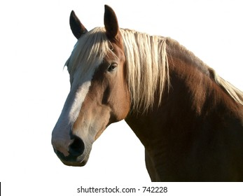 isolated palamino horse against white
