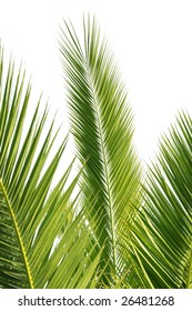 isolated palm tree leaves