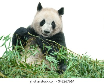 Isolated panda. Panda bear sitting and eating bamboo leaves isolated on white background with clipping path