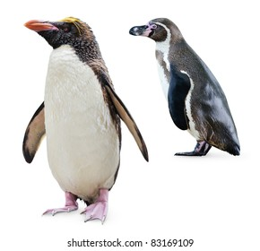 Isolated penguins. Two penguins of different varieties (Northern Rockhopper and Humboldt penguins) stand isolated on white background