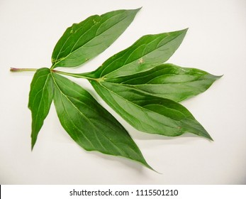 Isolated Peony Leaves on white