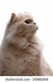 Isolated persian cat on white background