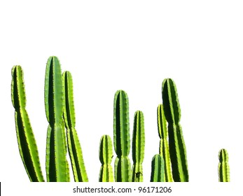 Isolated peruvianus cactus on white background