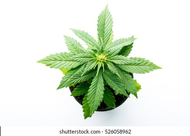 isolated photo cannabis plant og jackpot flowering plants and vegetation, strains of medical cannabis, Gorilla Glue or tangie'matic