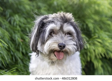 Isolated picture of cute Lhasa Apso  dog posing in front of green foliage.