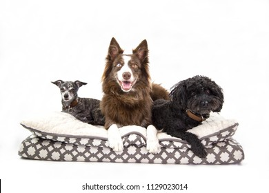 Isolated picture of three different size, age and breed dogs sharing a puppy bed. Medium , small and tiny pets in white background. young poodle , border collie and old chihuahua. pets looking happy