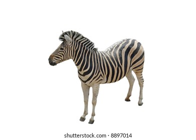 A isolated picture of a zebra taken at a Wisconsin zoo