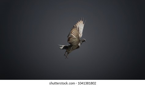 Isolated pigeon with wings wide open on gray background