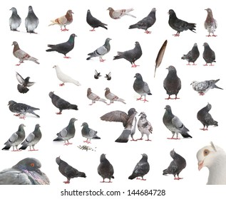 isolated pigeons in different positions