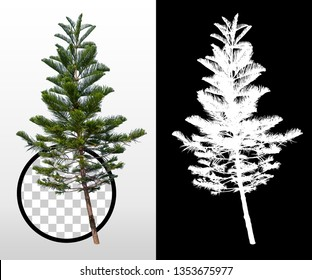 Isolated pine tree on white background. with high quality mask alpha channel and clipping path. Suitable for natural articles fine print / web page / architectural design or Decoration work.