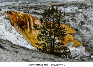Isolated Pine Tree on yellow dried waterfall and limestone background at Main Travertine Terraces of Mammoth Hot Springs in Yellowstone National Park, Wyoming, USA