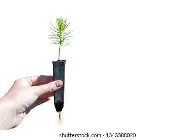 Isolated pine tree seedlings in white background.