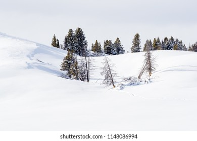 Isolated pine trees surrounded by deep snow in. Yellowstone