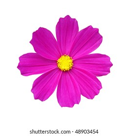 isolated pink cosmos