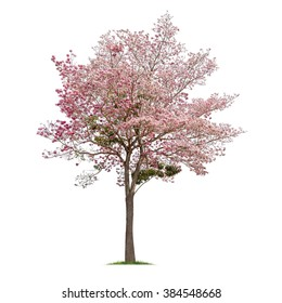 Isolated pink flower tree on white background,Tabebuia rosea
