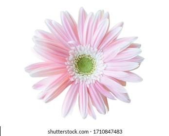isolated of pink gerbera ub gikd pot