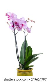isolated pink phalaenopsis orchid flower in planter