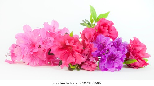 Isolated pink, red, and purple spring azaleas blooms.