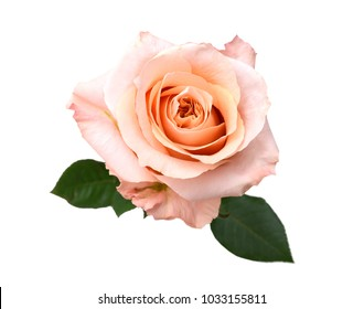 An isolated pink rose isolated