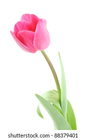 Isolated pink tulip - spring time