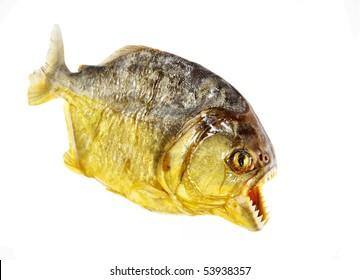 isolated piranha