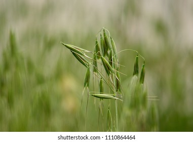 Isolated plant with many seeds in foreground, green oats