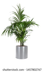 Isolated plant of Palm Tree in stainless steel pot with white background  - Shutterstock ID 1457802767