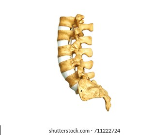 isolated of plastic model of lumbosacral spine in white background