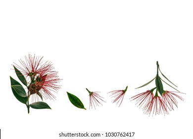 isolated pohutukawa tree flowers and leaves on white background