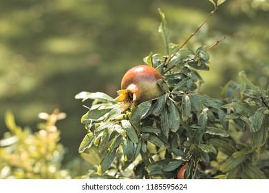 Isolated pomegranate fruit - Marche, Italy, Europe