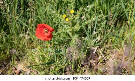 Poppy like flower images stock photos vectors shutterstock isolated poppy flower at the edge of the field wild red poppy isolated poppy flower mightylinksfo