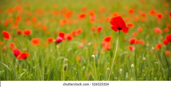 Isolated poppy on blurred background