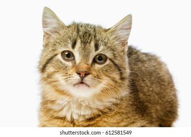 Isolated portrait of a beautiful gray kitten