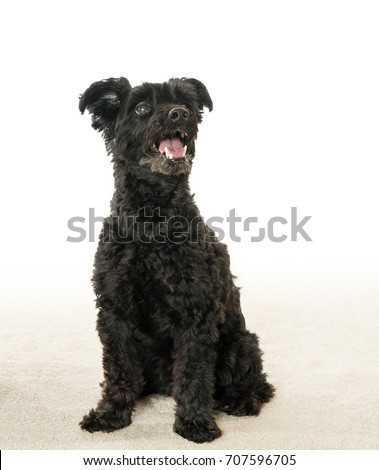 Isolated Portrait Black Yorkie Poo Yorkshire Stock Photo Edit Now