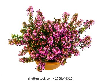 Isolated potted winter-flowering heather plant (erica carnea)
