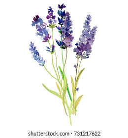 Isolated Provence lavender flowers. Watercolor floral set for your design.