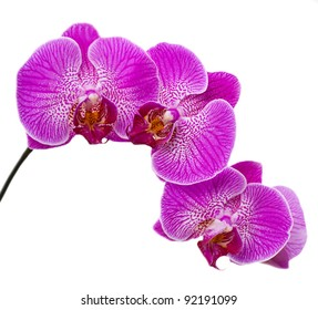 Isolated purple orchid flower.