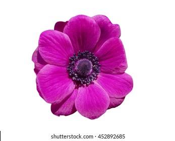 Isolated purple vibrant gerbera flower