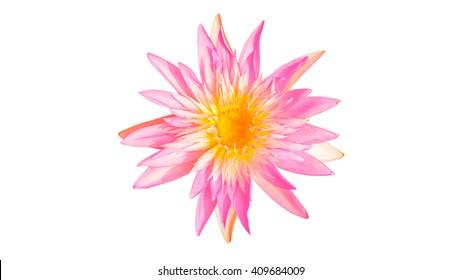 Isolated purple waterlily flower , Lotus flower