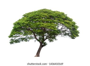Isolated Raintree on white background