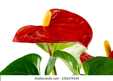 Isolated red flamingo flower (anthurium) blossom