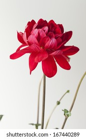 Isolated red flower on white.