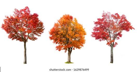 Isolated red Japanese maple tree on white background.