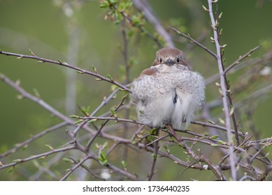 Isolated red-backed shrike perching on a branch