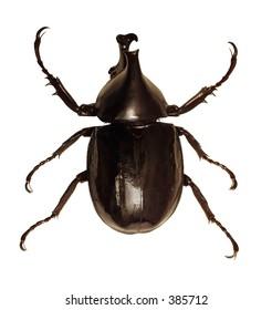Isolated Rhinoceros Beetle