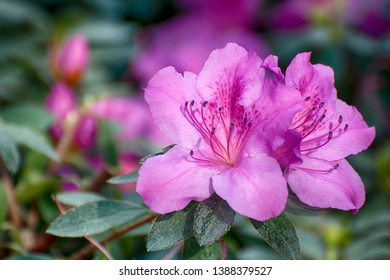 Isolated Rhododendron simsii (Indian Azalea, Sims's Azalea, Mountain Rose, Mountain Peony) The attractively magenta and dark red shade, ruffle petals. A shrub that grows at altitudes 500–2700 meters