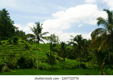 isolated rice fields in Indonesia