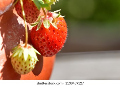 Isolated ripe strawberries, on it's branch, growing in a pot, on a blur background
