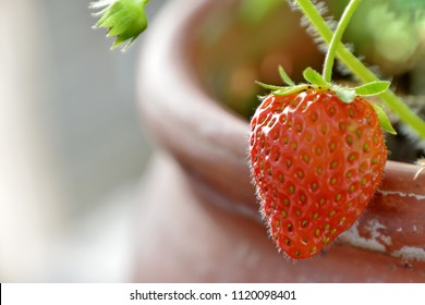 Isolated ripe strawberry on it's branch, growing in a pot