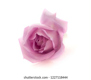 isolated rose on white